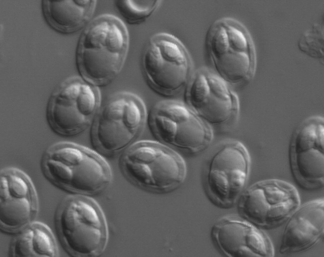 20120911e_07a_x100nm1h.jpg | Fish Pathogens