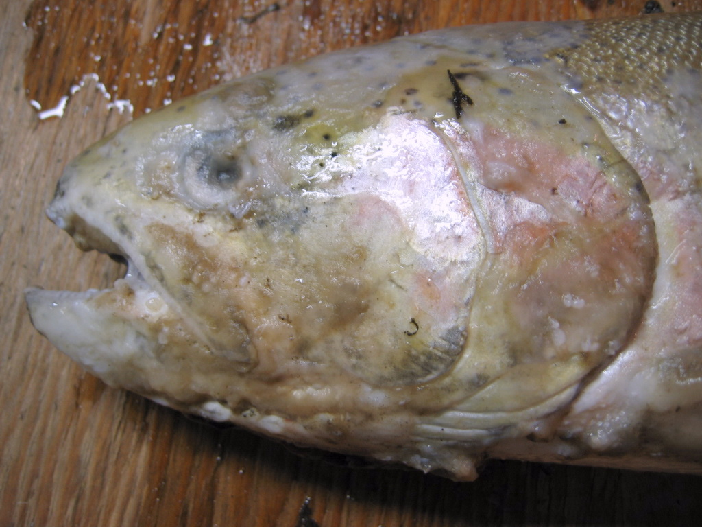 Cb stw fish pathogens for Fish fungal infection