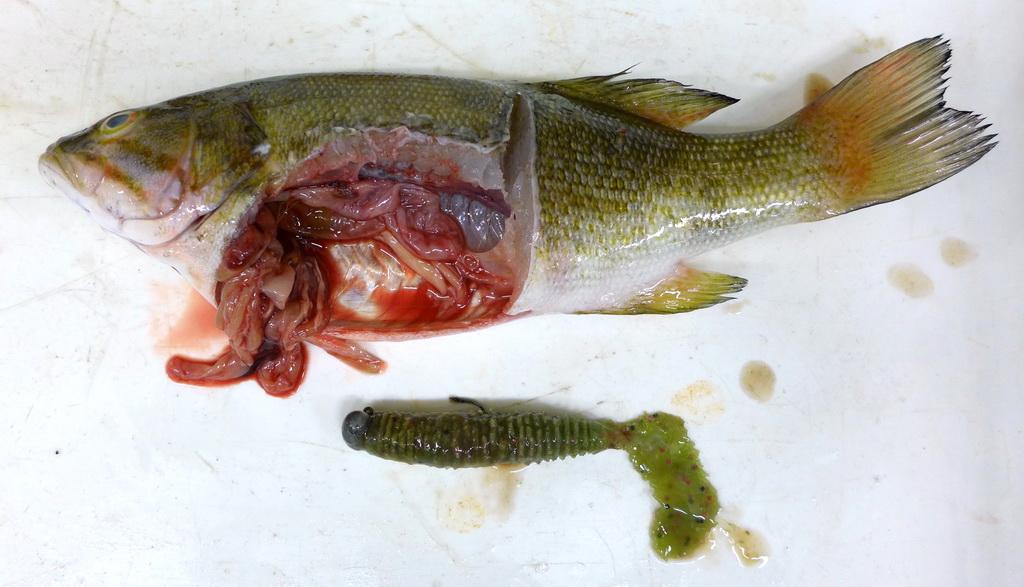 Fish pathogens for Smallmouth bass fishing