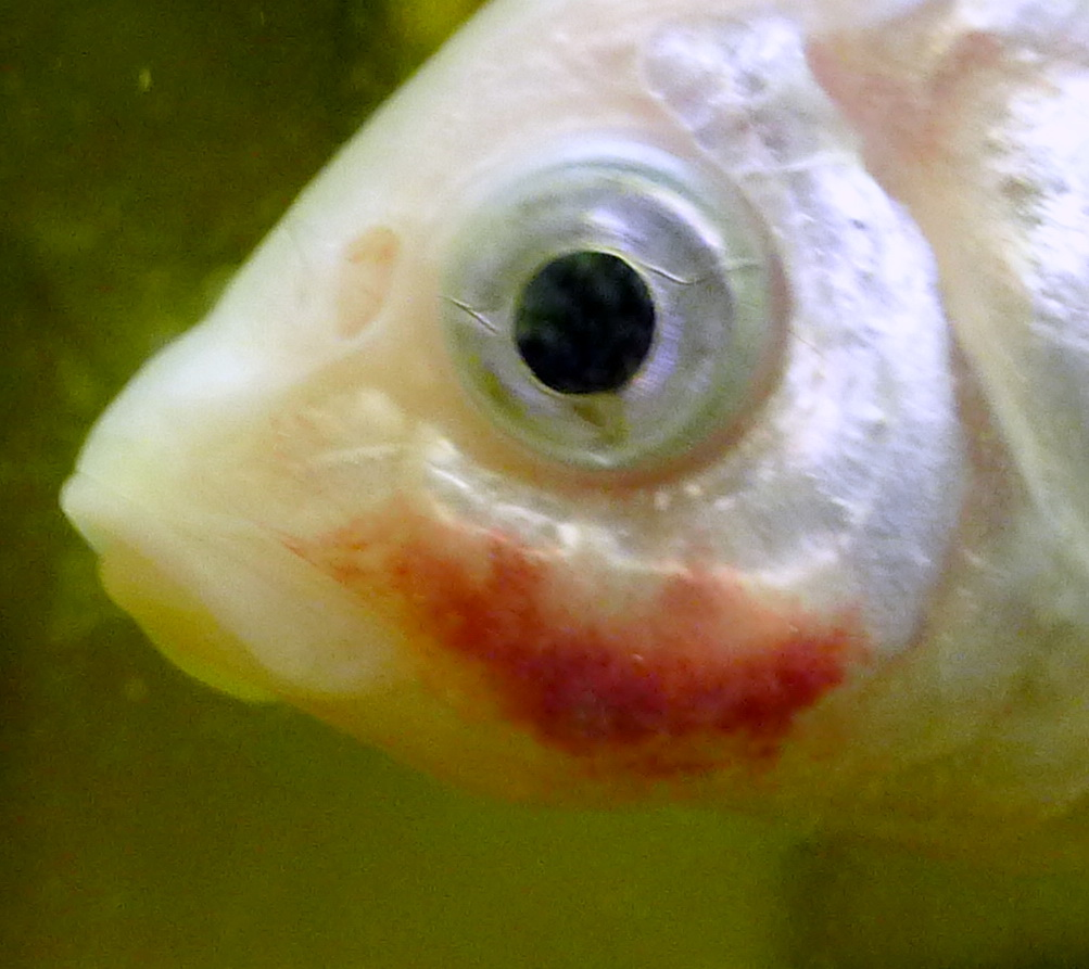 Fish pathogens for Fish bacterial infection