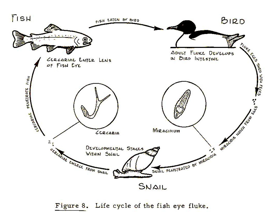 Freshwater fish life cycle - Fish Life Cycle Diagram For Kids Photo 25
