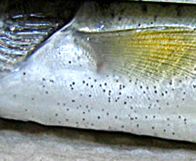 Fish with dark spots