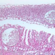 Dermocystidium in gills
