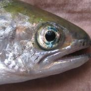 Blue eye - characteristic of Aeromonas infection (Furunculosis).