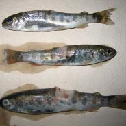 Steelhead trout with bacterial lesions.