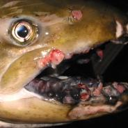 Tumors on lips of adult spring Chinook salmon.