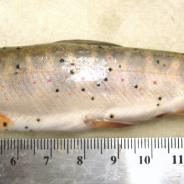 Fish infected with Neascus (spots).
