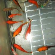 Goldfish.