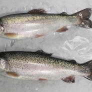 FishPathogens_RainbowTrout_IMG_0009