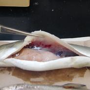 Hemorrhaged swim bladder caused by IHN virus