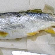 Mountain whitefish.