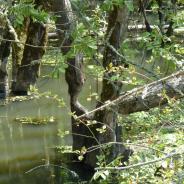 Beaver modification of Dunawi Creek.