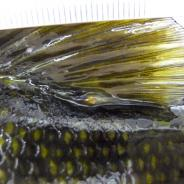 Yellow grub at base of dorsal fin of smallmouth bass.