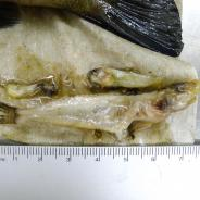 Stomach content of smallmouth bass.