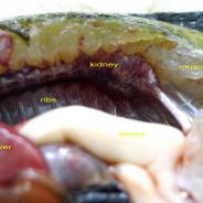 Dissected bluegill with some of the main organs annotated.