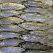 Healthy sub-adult rainbow trout.