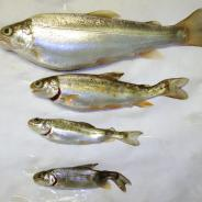 Healthy rainbow trout (top) compared with those infected with M. cerebralis.