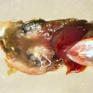 Dissected fish head showing white eye fluke metacercaria behind eyes.