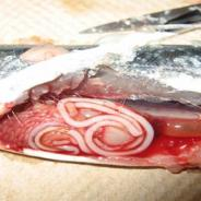 Philonema sp. (?) nematode in body cavity.