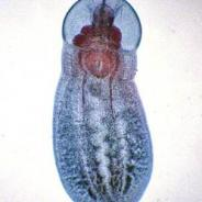 Posthodiplostomum minimum adult.