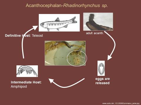 Life cycle of Rhadinorhynchus sp.