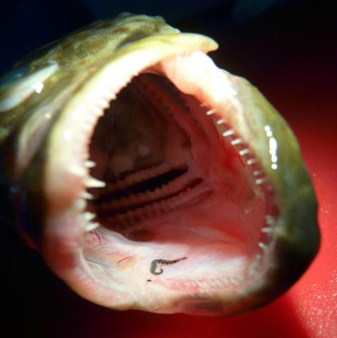 Zeylanicobdella arugamensis leech in mouth of cod.