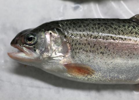 Hatchery-reared rainbow trout