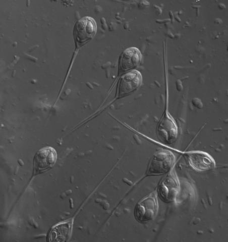 Henneguya myxospores.