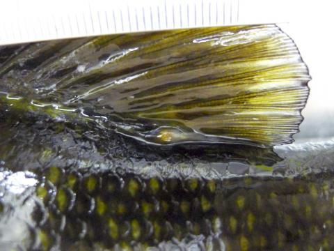 Yellow grub at base of dorsal fin of smallmouth bass.