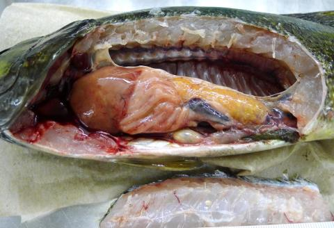 Dissected smallmouth bass. Yellow organ is ovary full of eggs.