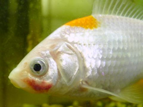 Goldfish displaying red patch on face due to bacterial infection.