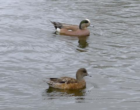 Male and female American wigeons