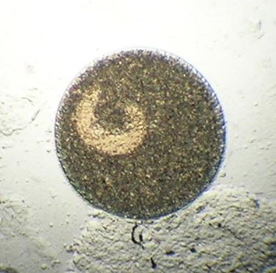 Single whitespot parasite.