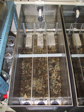Triplicate flow-through system for exposing trout to M. cerebralis.
