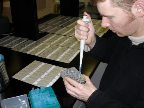 Pipeting waterborne actinospores onto glass slides.