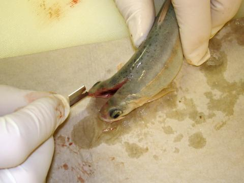 Rainbow trout being sectioned for M. cerebralis detection.