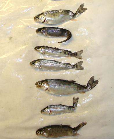 Rainbow trout infected with M. cerebralis.