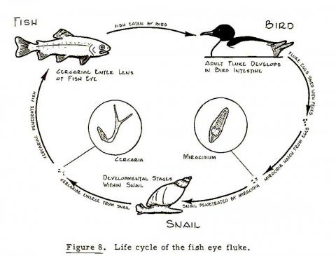 Life cycle of eye fluke (Diplostomum).