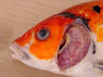 KHV damage to gills (white lesions)
