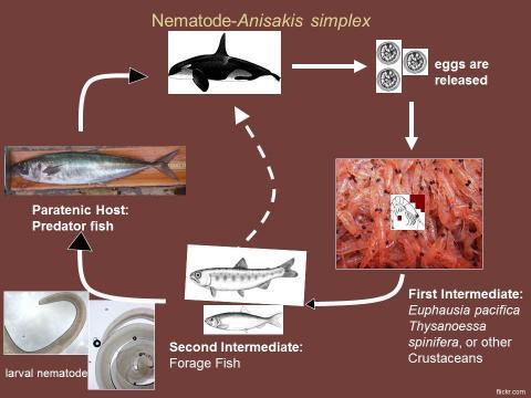 Life cycle of Anisakis nematodes.