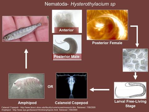Life cycle of the nematode Hysterothylacium sp.