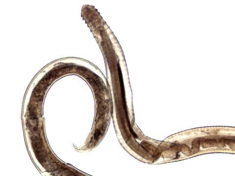 Spinitectus nematode.