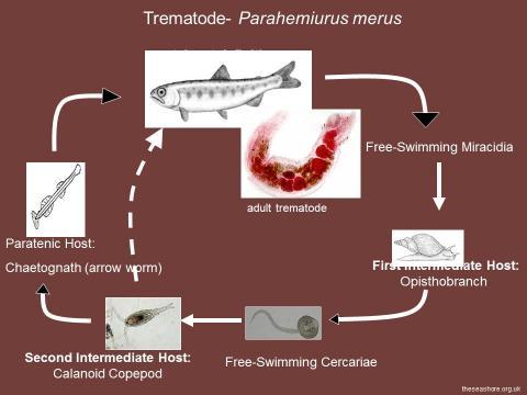 Life cycle of the trematode Parahemiurus sp.