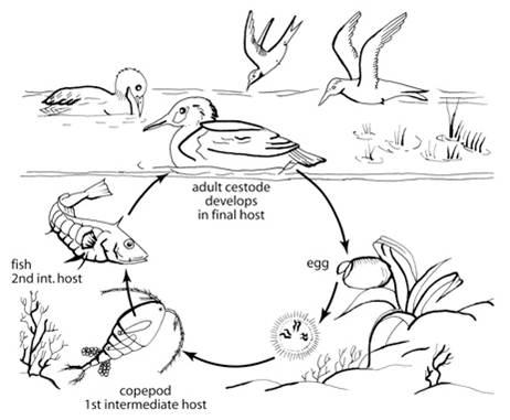Life cycle of cestodes (flatworms).