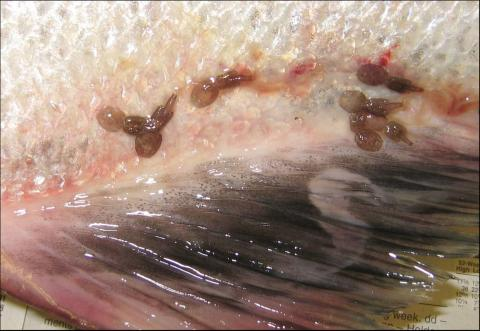 Adult sea lice on fish skin.