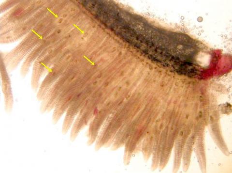 Trematode metacercariae (arrowed) in gills.
