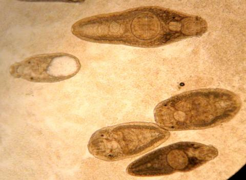 Several species of adult trematodes from intestine.