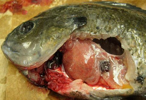 Bluegill with heavy infection of white grub in its liver.