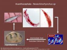 Life cycle of the acanthocephalan Neoechinorhynchus sp.