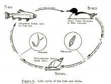 Life cycle of eye fluke (Diplostomum).